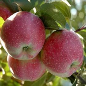 """Яблоки """"Альва"""""""