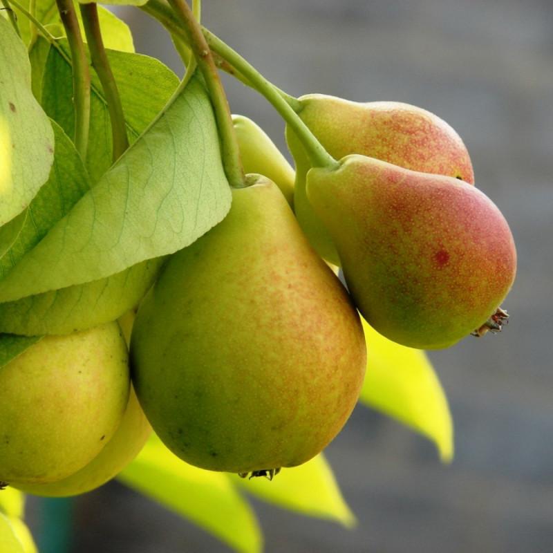 Груша ГладиаторВыращено в экологически чистом районе Краснодарского края без применения агрохимии. Плоды нарядные, удлиненные, светло-зеленые. Кожица плода сухая, гладкая и блестящая. Мякоть желтоватого цвета, сладкая, сочная и очень ароматная.<br><br>Вес кг.: 1